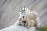 Mountain goat family.