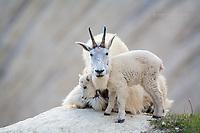 Mountain goat family.