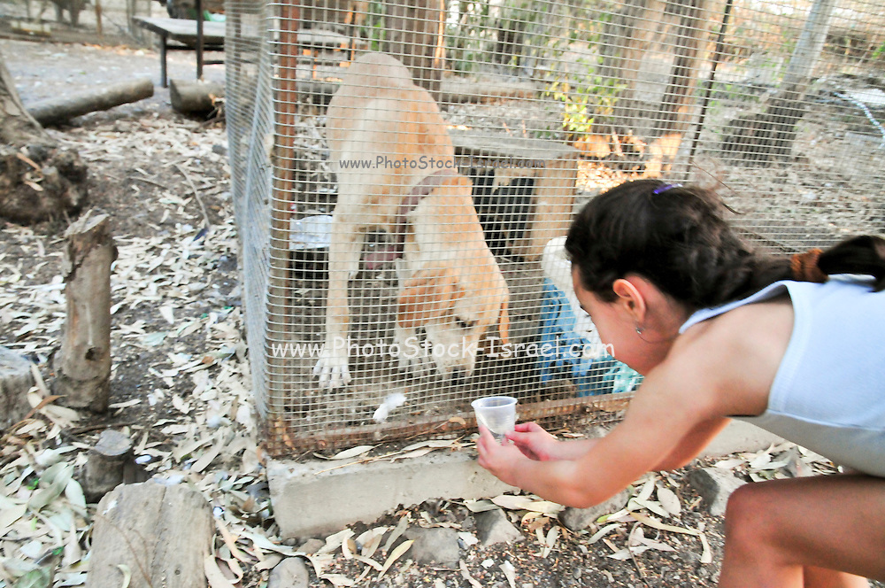 Girl gives water to a caged Labrador dog