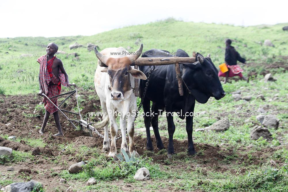 Africa, Tanzania, Lake Eyasi National Park farming boy ploughs the land with a team of oxen