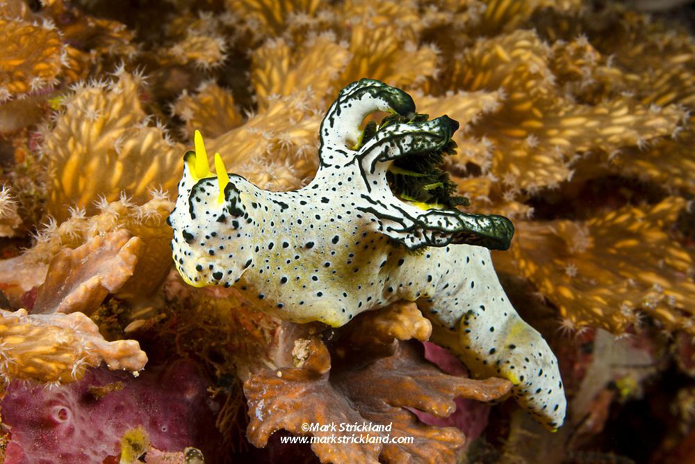 Nudibranch, Aegires serenae, Cenderawasih Bay, West Papua, Indonesia