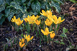 Crocus × luteus 'Golden Yellow' syn. C. 'Dutch Yellow', C. × stellaris 'Golden Yellow'