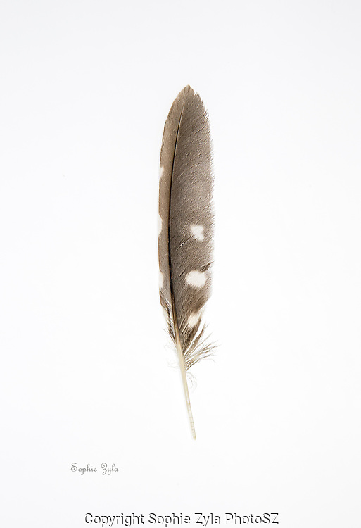 Northern Saw-whet Owl Wing Feather