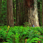 A man stands by a giant tree in the Stout Grove in the Jedediah Smith Redwoods State Park in California