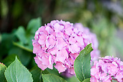 flowering Pink Hortensia flower. Photographed in The Pyrenees Mountains, France
