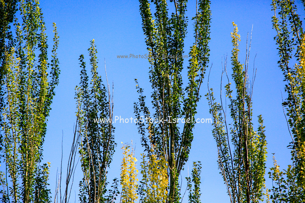 trees in a forest. Blue sky background . Photographed in Armenia