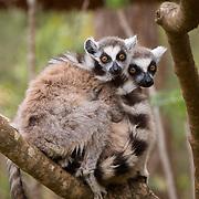 Ring-tailed lemur family. Berenty Reserve, Madagascar