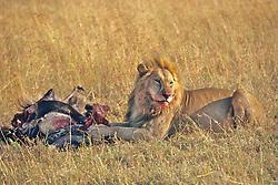 Lion Feeding On Wildebeest