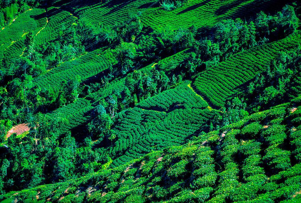 Tea plantations, near Darjeeling, West Bengal, India