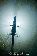 silhouette of Morelet's crocodile, Central American crocodile, Mexican crocodile, or Belize crocodile, Crocodylus moreletii,  resting at surface of cenote ( freshwater spring ) near Tulum, Yucatan Peninsula, Mexico