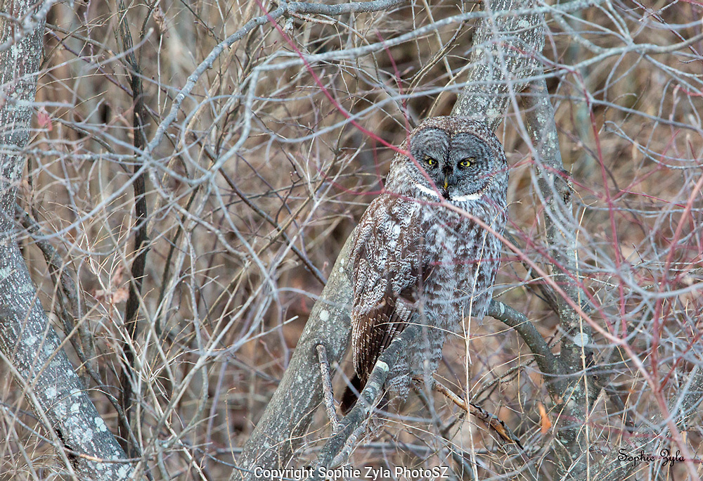 Great Gray Owl in the Shrubs
