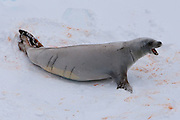 """Crabeater seal. Crabeaters are perhaps the """"second most numerous large species of mammals on Earth, after humans"""" with populations of around 50 million. The crabeater eats krill - hence the pinky orange colour on the snow"""