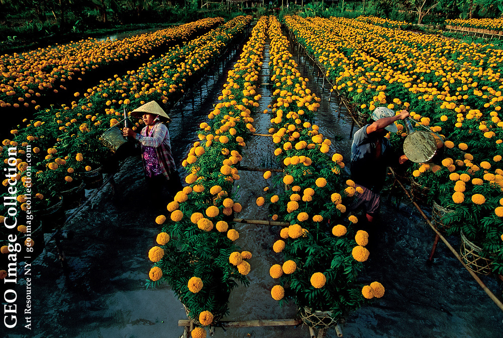 Marigolds grow over the water, much as Zheng He grew vegetables on the decks of his ships. Sa Dec, Vietnam