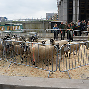 The annually Sheep Drive over the River Thames 2021 at Southwark bridge, London, UK. on 25th September 2021.