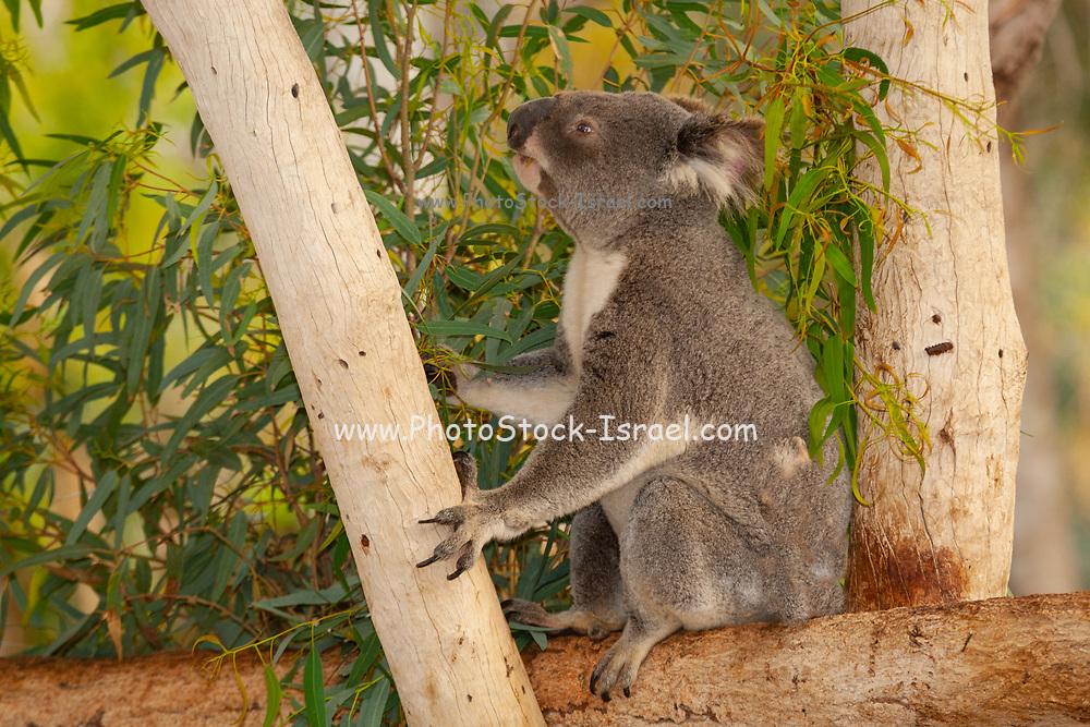 Koala (Phascolarctos cinereus) eats leaves in an Eucalyptus tree