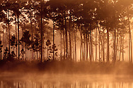 Morning sun filters through fog and pine trees at Long Pine Key pond in Everglades National Park, Florida. <br /> <br /> WATERMARKS WILL NOT APPEAR ON PRINTS OR LICENSED IMAGES.<br /> <br /> Licensing: https://tandemstock.com/assets/92259228
