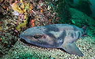 Cephaloscyllium isabellum (Carpet Shark)