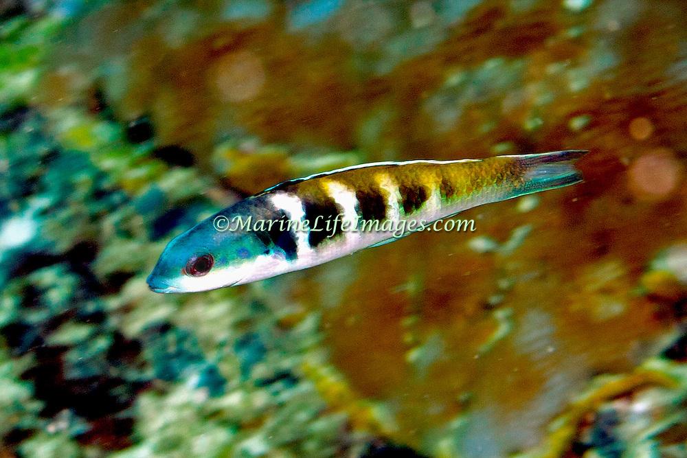 Bluehead inhabit reefs in Tropical West Atlantic; picture taken Panama near San Blas Islands.