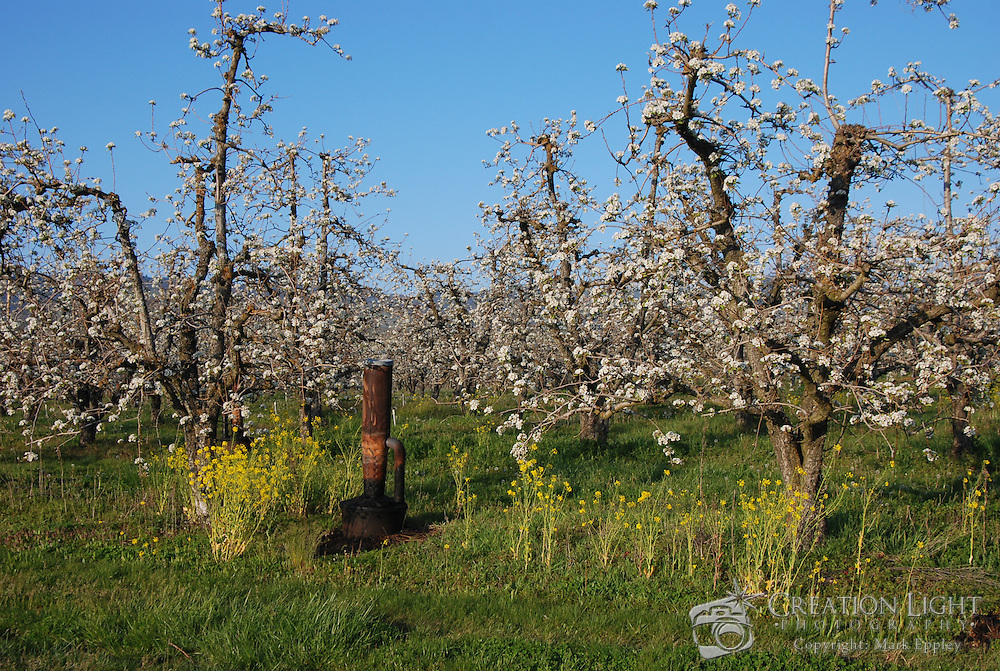 The Rogue Valley in know as Pear Country with thousands of acres of pear orchards producing pears sold around the world. The pear trees blossom in early spring and have to be protect from frost on cold nights by smudge pot.