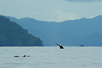 Humpback Whale (Megaptera novaeangliae) <br />surfacing off Coiba Island.<br /><br />Coiba National Park<br />Panama
