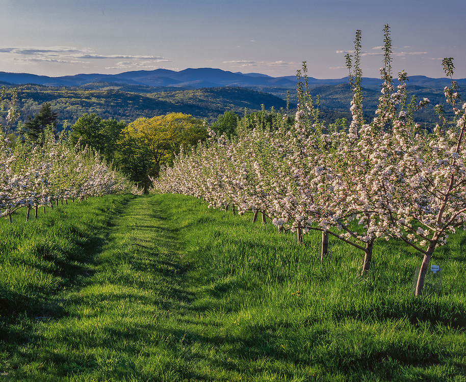Rows of apple trees in bloom line orchard road in grass, distant mountain ridgelines, Gould Hill Orchard, Hopkinton, NH
