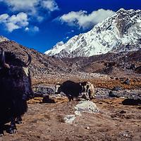 Yaks graze below Nuptse peak in the Khumbu region of Nepal. 1980 (near Lobuche village)