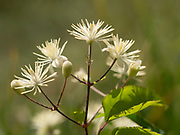 Traveller's-joy flowers (Clematis vitalba), Kent, UK also known as Old man's beard