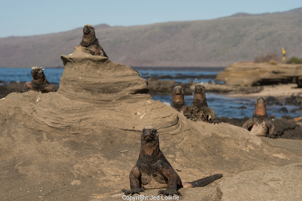 After diving up to 30ft for food the Marine Iguanas must warm up their body temperature by basking in the sun.  They are very vulnerable to predation while in this state due to their slow movements while regaining warmth.