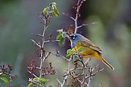 MacGillivray's Warbler (Oporornis tolmiei) in Whitethorn (Ceanothus leucodermis), Storrie Fire, Northern Sierra, California