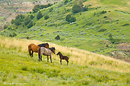 Wild horse parents give instruction to foal at Theodore Roosevelt National Park, North Dakota, USA