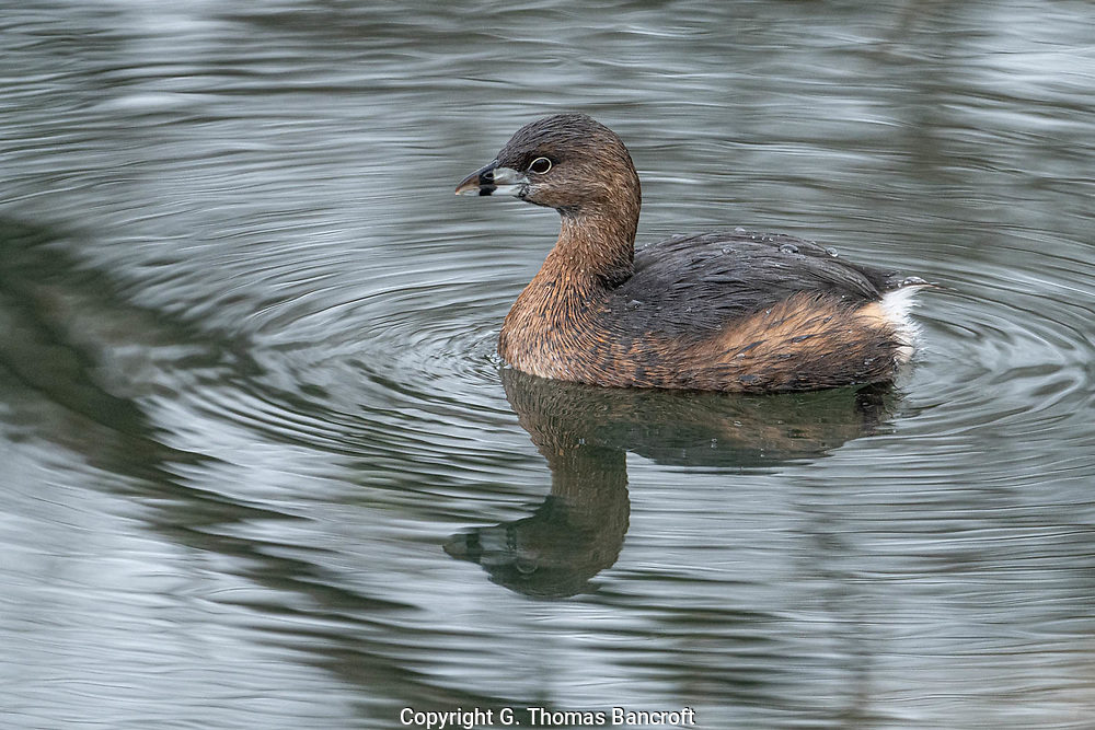 The Pied-billed Grebe sat motionless in the water after surfacing from a dive. They are permanent residents in the Puget Sound area of Washington.