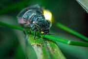 Glow worm (Lampyris noctiluca) female. Surrey, UK.