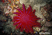 crown of thorns sea star ( starfish ), Acanthaster planci, Thailand ( Indian Ocean - Andaman Sea )