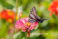 03006-00318 Zebra Swallowtail (Protographium marcellus) on Zinnia Union Co. IL