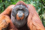 A portrait of a dominant male orangutan (Pongo pymaeus), Tanjung Puting National Park, Central Kalimantan, Borneo, Indonesia