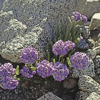 Sky Pilot Polemoniums are highest growing plants in Sierra Nevada.