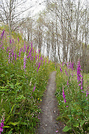 Fox Glove blooming along the Hummocks Trail at Mount St. Helens National Volcanic Monument.  This is a trail on top of material that slid off during the 1980 eruption.