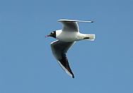 Black-headed Gull Larus ridibundus L 35-38cm. Our most numerous medium-sized gull. Plumage variable but white leading edge to outerwings is consistent feature. Forms single-species flocks. Sexes are similar. Adult in summer has grey back and upperwings, white underparts and chocolate-brown hood. Legs and bill are red. In flight, trailing edge of outerwing is black. In winter, loses dark hood; white head has dark smudges above behind eye. Juvenile has orange-brown flush to upperparts, dark feathers on back, dark smudges on head, and dark tip to tail. Acquires adult plumage by 2nd winter through successive moults. 1st winter bird retains many juvenile plumage details but loses rufous elements and gains grey back. 1st summer bird still has juvenile-type wing pattern but gains dark hood. Voice Raucous calls include a nasal kaurrr. Status Widespread and numerous. Commonest on coasts and inland freshwater sites, but also in towns and on farmland; often follows the plough. Nests colonially beside water. Migrants from Europe boost winter numbers.
