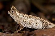 Stump Tailed Leaf Chameleon, Brookesia superciliaris, Ranomafana National Park, Madagascar, brown leaf, camouflaged, Least Concern on the IUCN Red List and Appendix II of CITES
