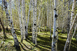 August 9, 2017 - Aletai, Aletai, China - Aletai, CHINA- (EDITORIAL USE ONLY. CHINA OUT)..Scenery of birch forest in Aletai, northwest China's Xinjiang Uygur Autonomous Region. (Credit Image: © SIPA Asia via ZUMA Wire)