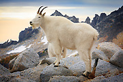 Mountain goat in the Enchantment Lakes Wilderness in Washington state