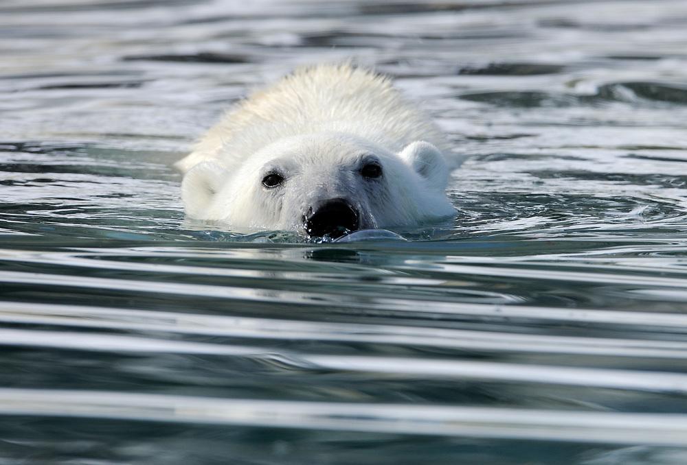 Polar Bear, Ursus maritimus, swimming, Svalbard, Norway