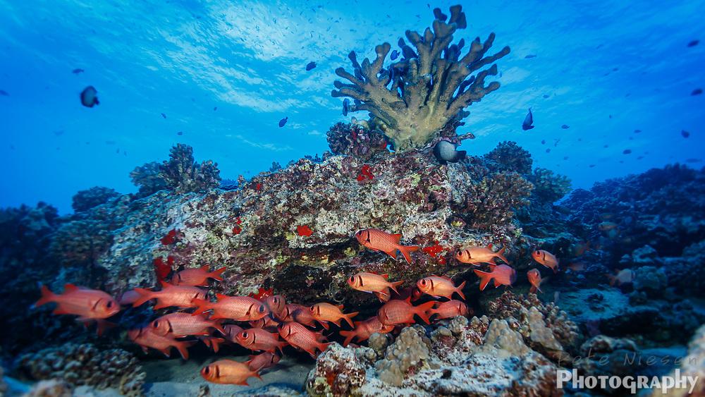 School of red blackbar soldier fish, Myripristis jacobus, swim on coral reef
