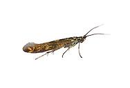 37.035 (0517)<br /> Clover Case-bearer - Coleophora alcyonipennella