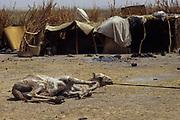 Camel in desertified Sahel.