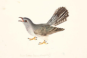 The lesser cuckoo (Cuculus poliocephalus) is a species of cuckoo in the family Cuculidae. 18th century watercolor painting by Elizabeth Gwillim. Lady Elizabeth Symonds Gwillim (21 April 1763 – 21 December 1807) was an artist married to Sir Henry Gwillim, Puisne Judge at the Madras high court until 1808. Lady Gwillim painted a series of about 200 watercolours of Indian birds. Produced about 20 years before John James Audubon, her work has been acclaimed for its accuracy and natural postures as they were drawn from observations of the birds in life. She also painted fishes and flowers. McGill University Library and Archives