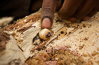 Villagers collecting giant longhorn beetle larvae to eat after cooking.  The larvae live in rotting tree trunks..
