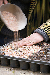 Taking Crambe cordifolia root cuttings. Covering module tray with grit