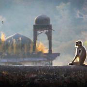 Monkey contemplating the ruins of Ranthambhore.