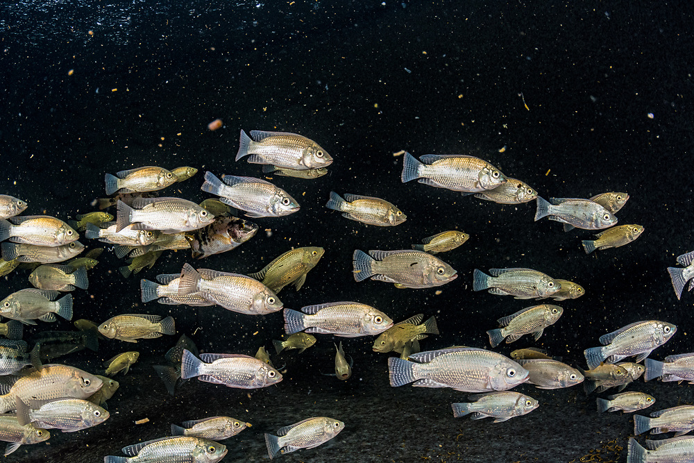 Tilapia are raised in a tank at the Manatee Conservation Center in Puerto Rico.